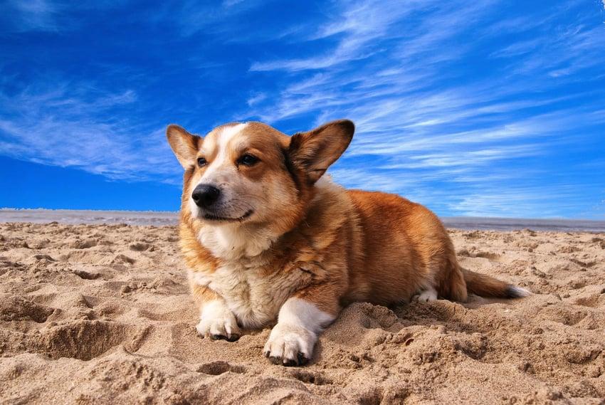 corgi on beach